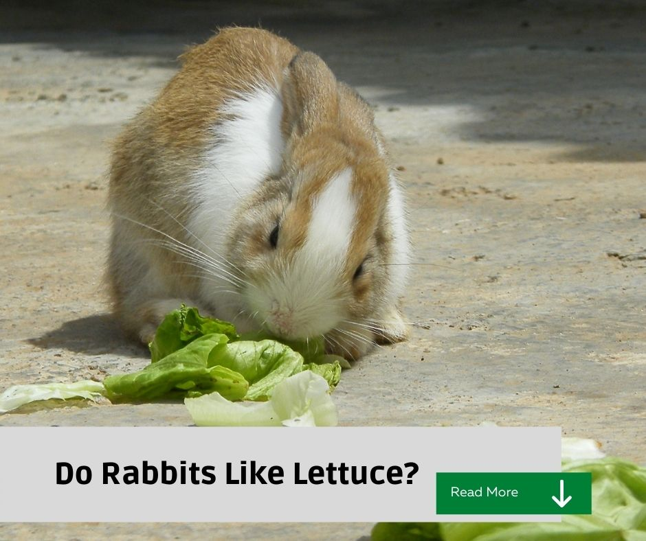 Rabbits and lettuce